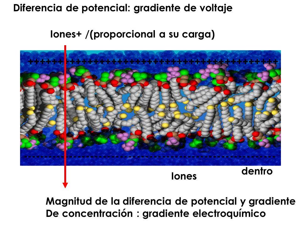 ++++++++++++++++++++++++++++++++++++++++++ ------------------------------------------------------------ Diferencia de potencial: gradiente de voltaje