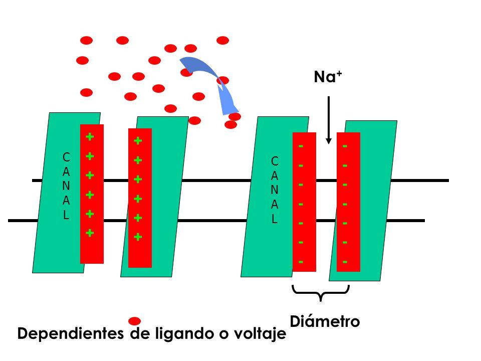 CANALCANAL ++++++++++++ ++++++++++++ CANALCANAL -------------- -------------- Na + Diámetro Dependientes de ligando o voltaje