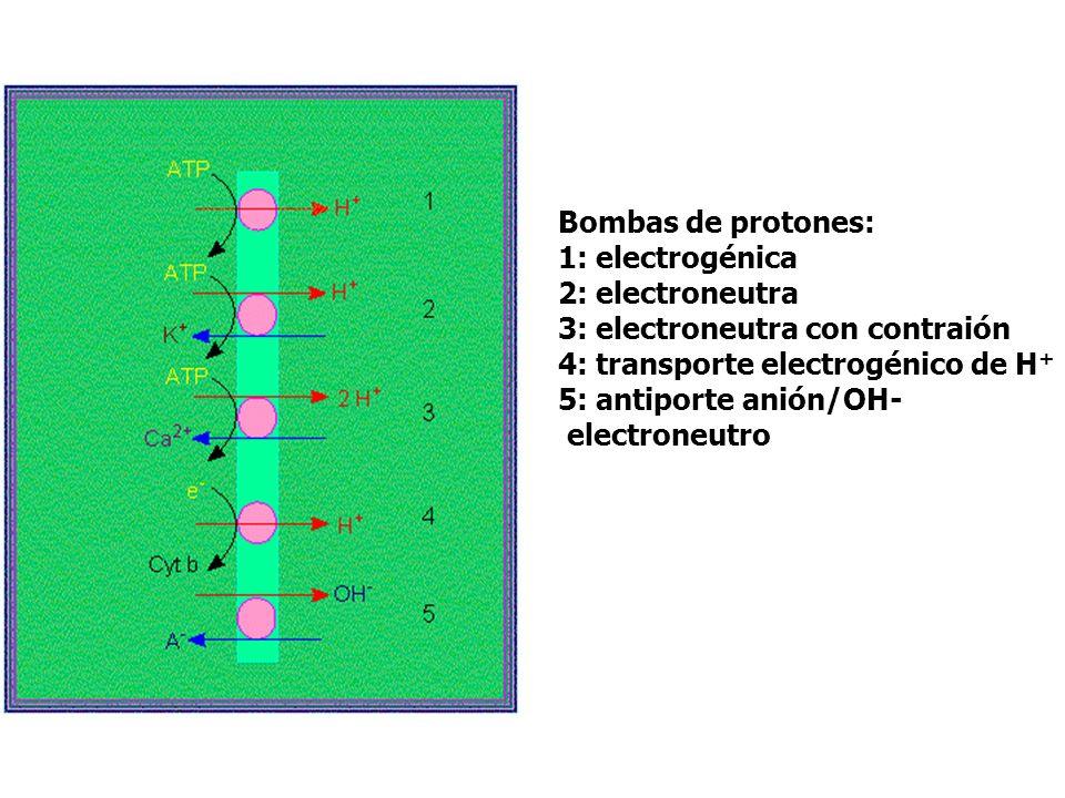Bombas de protones: 1: electrogénica 2: electroneutra 3: electroneutra con contraión 4: transporte electrogénico de H + 5: antiporte anión/OH- electro