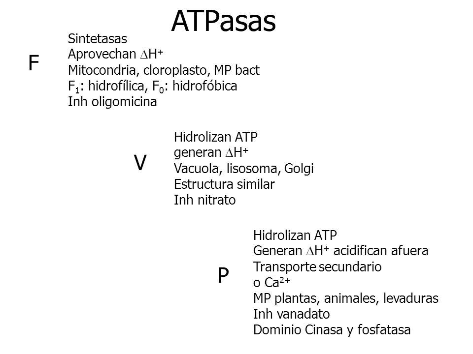 F P V Sintetasas Aprovechan H + Mitocondria, cloroplasto, MP bact F 1 : hidrofílica, F 0 : hidrofóbica Inh oligomicina Hidrolizan ATP generan H + Vacu