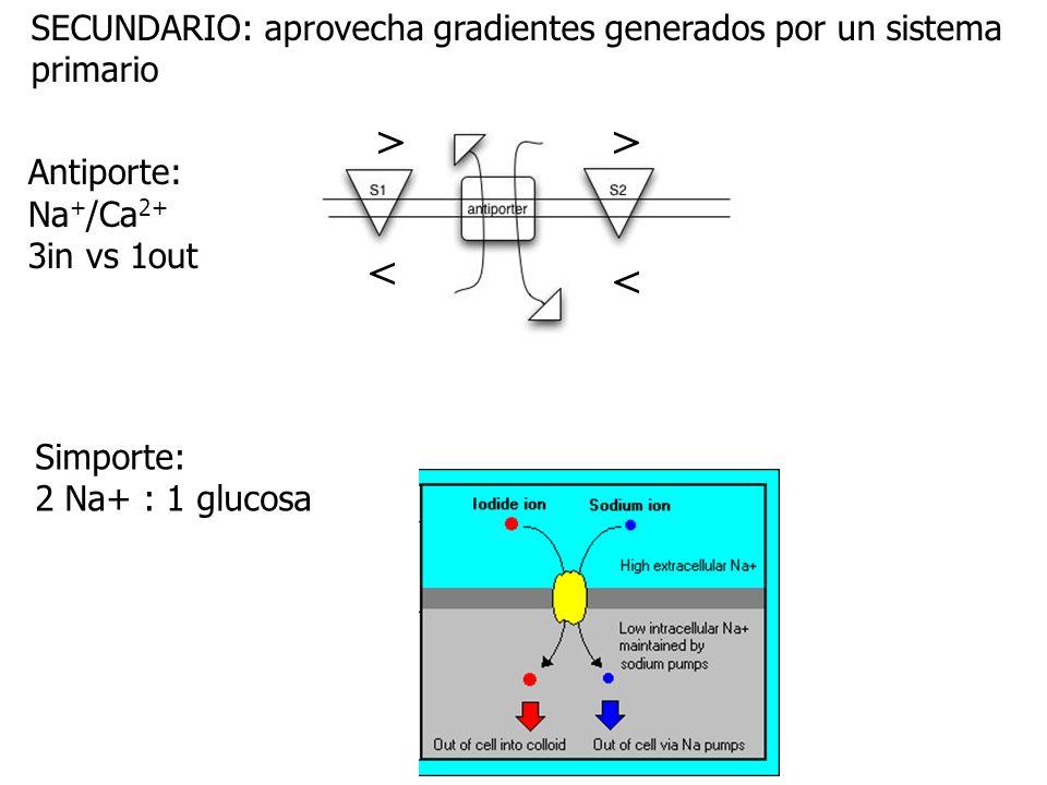 Antiporte: Na + /Ca 2+ 3in vs 1out >> < < Simporte: 2 Na+ : 1 glucosa SECUNDARIO: aprovecha gradientes generados por un sistema primario