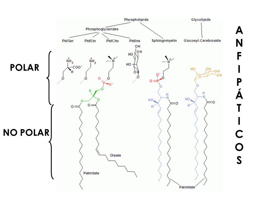 En las membranas biológicas...