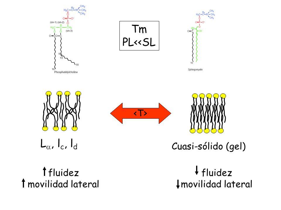 Tm PL<<SL L, l c, l d fluidez movilidad lateral Cuasi-sólido (gel) fluidez movilidad lateral