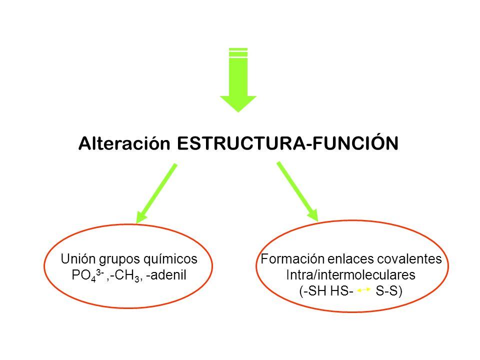 Unión grupos químicos PO 4 3-,-CH 3, -adenil Alteración ESTRUCTURA-FUNCIÓN Formación enlaces covalentes Intra/intermoleculares (-SH HS- S-S)