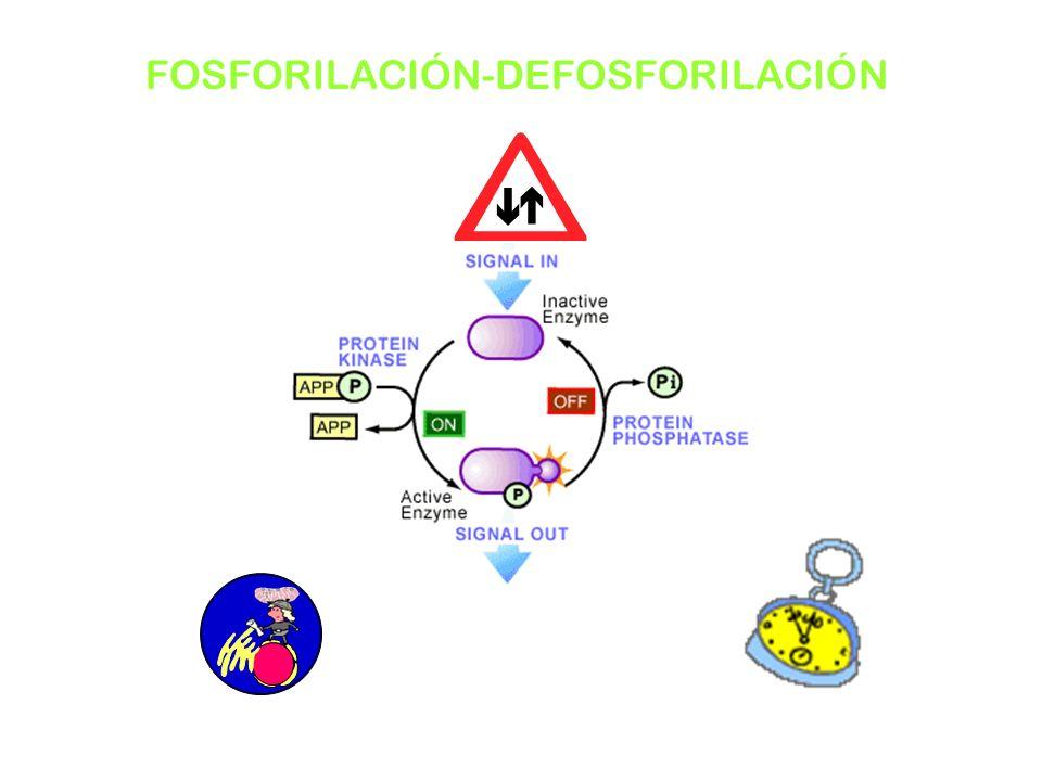 FOSFORILACIÓN-DEFOSFORILACIÓN