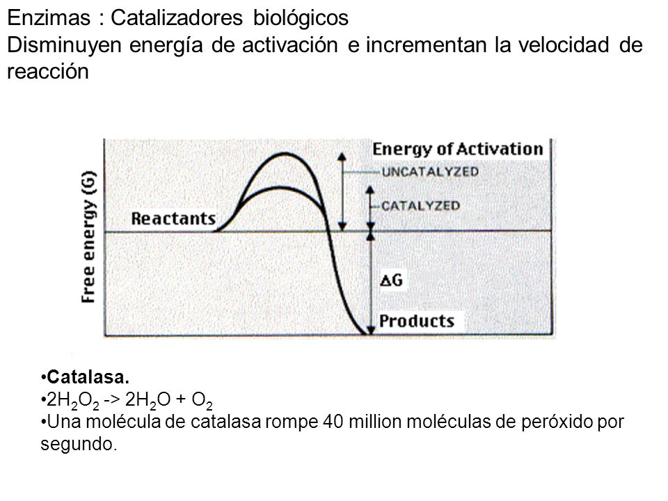 Enzimas : Catalizadores biológicos Disminuyen energía de activación e incrementan la velocidad de reacción Catalasa. 2H 2 O 2 -> 2H 2 O + O 2 Una molé