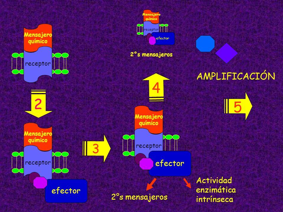 receptor Mensajero químico 2 receptor Mensajero químico efector 2°s mensajeros Actividad enzimática intrínseca 3 4 AMPLIFICACIÓN receptor Mensajero qu