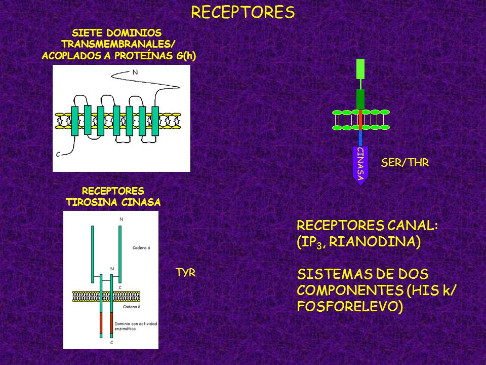 RECEPTORES SIETE DOMINIOS TRANSMEMBRANALES/ ACOPLADOS A PROTEÍNAS G(h) CINASA SER/THR RECEPTORES TIROSINA CINASA TYR RECEPTORES CANAL: (IP 3, RIANODIN