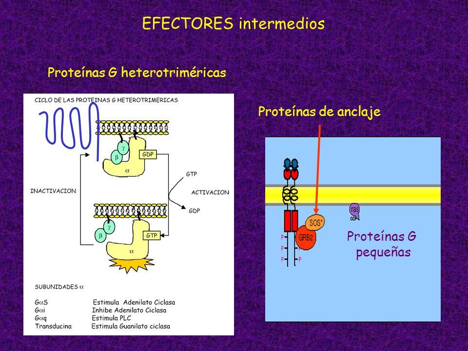 EFECTORES intermedios Proteínas G heterotriméricas Proteínas G pequeñas Proteínas de anclaje