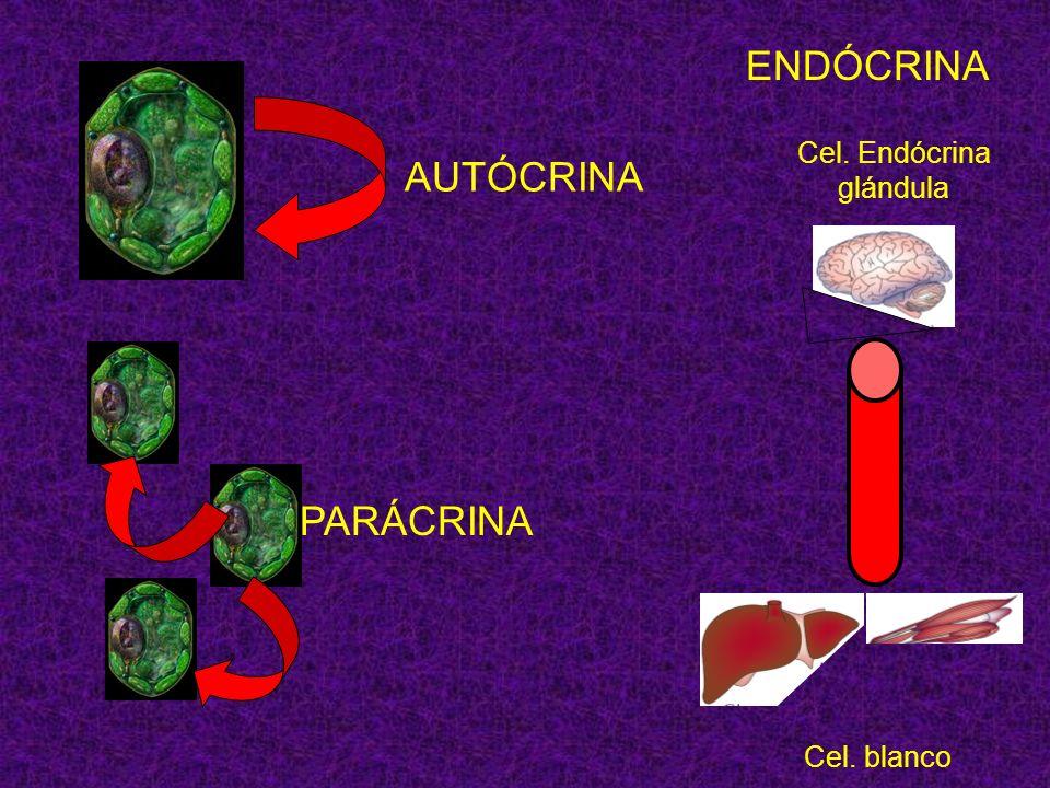 AUTÓCRINA PARÁCRINA Cel. Endócrina glándula Cel. blanco ENDÓCRINA