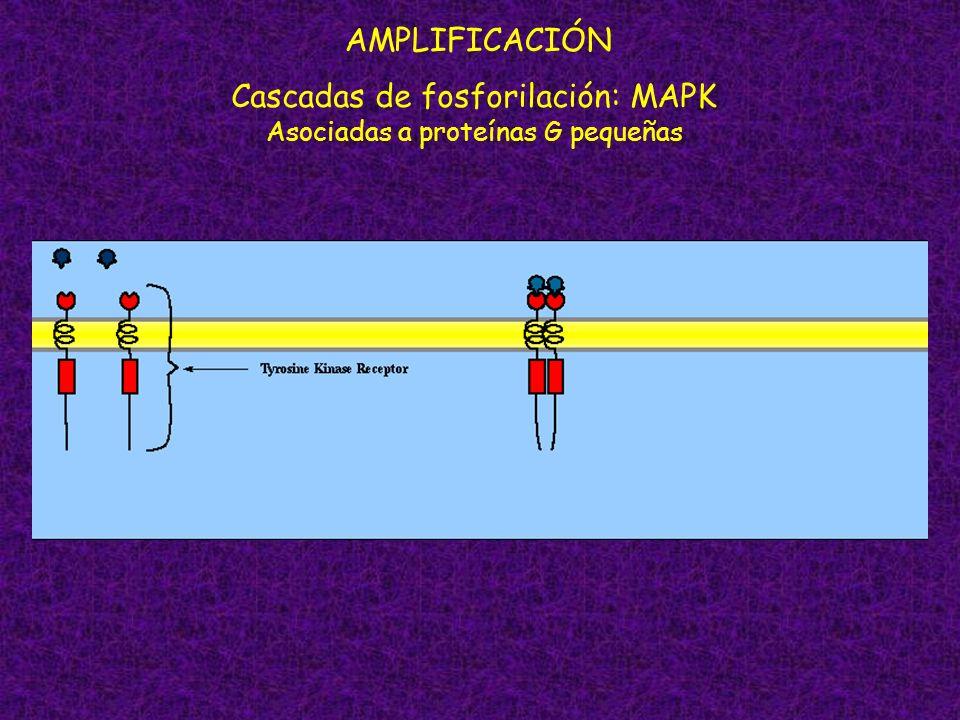 AMPLIFICACIÓN Cascadas de fosforilación: MAPK Asociadas a proteínas G pequeñas