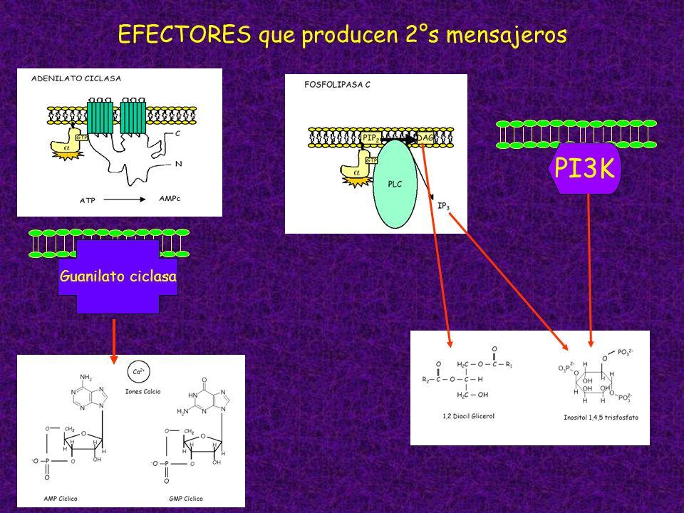 Guanilato ciclasa EFECTORES que producen 2°s mensajeros PI3K