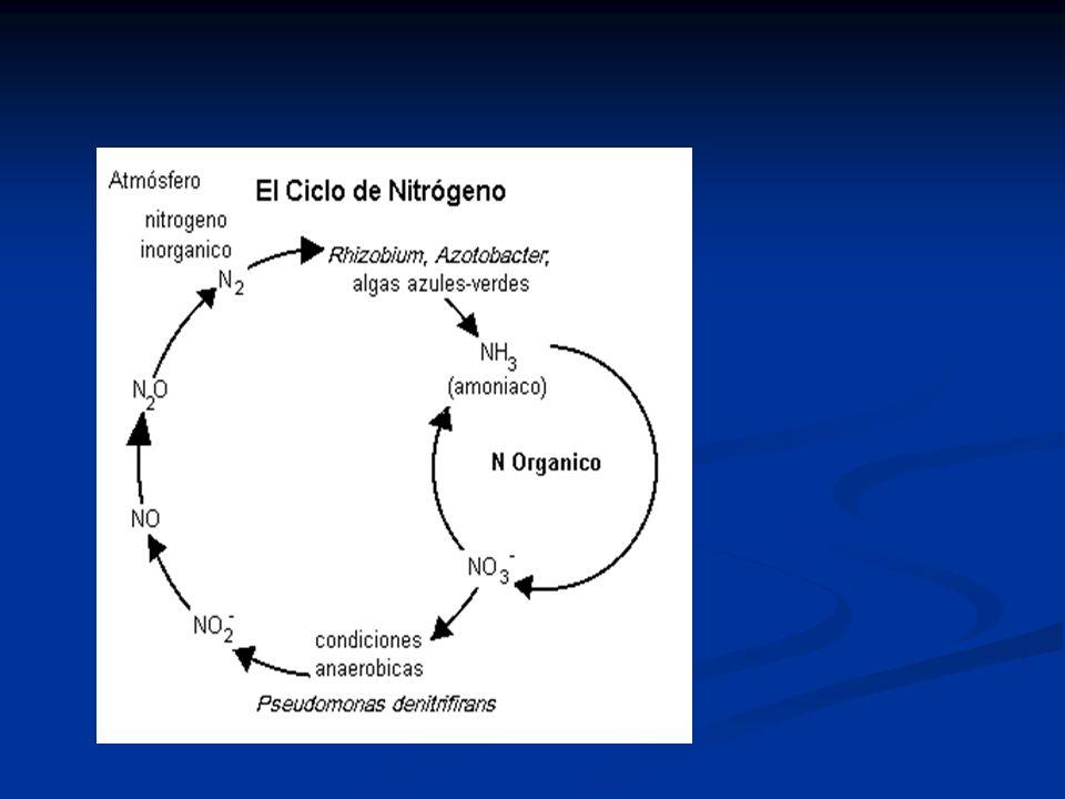 NITROGENO ORGANICO (PROTEINAS, UREA) NITROGENO AMONIO NITROGENO ORGANICO (CELULAS BACTERIANAS) NITROGENO ORGANICO (CRECIMIENTO NETO) NITRITOS (NO 2 -1 ) NITRATOS (NO 3 -1 )GAS NITROGENO (N2) PROCESO ASIMILATIVO PROCESO NO ASIMILATIVO O2O2 O2O2 Materia orgánica Remoción de N