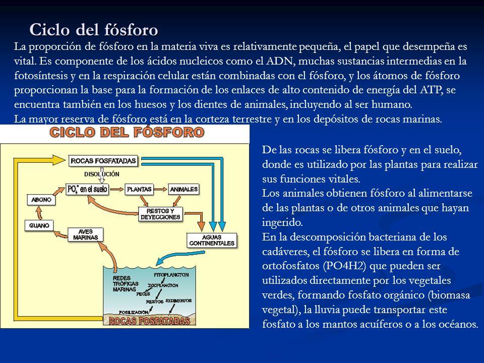 Ciclo del fósforo La proporción de fósforo en la materia viva es relativamente pequeña, el papel que desempeña es vital. Es componente de los ácidos n