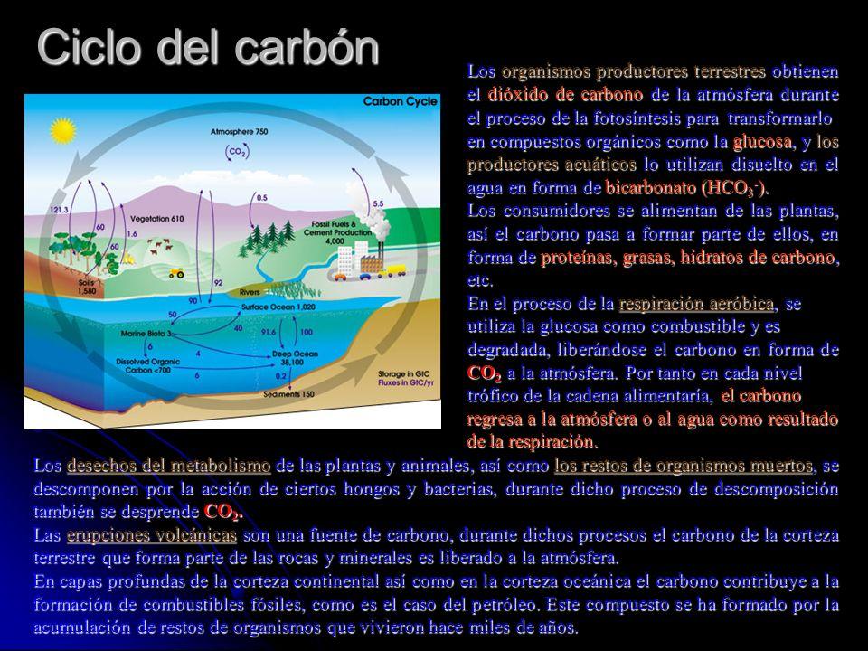 Ciclo del carbón Los organismos productores terrestres obtienen el dióxido de carbono de la atmósfera durante el proceso de la fotosíntesis para trans