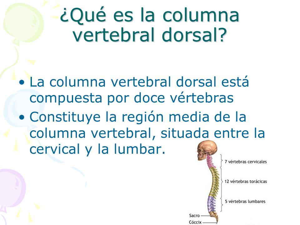 ¿Qué es la columna vertebral dorsal? La columna vertebral dorsal está compuesta por doce vértebras Constituye la región media de la columna vertebral,