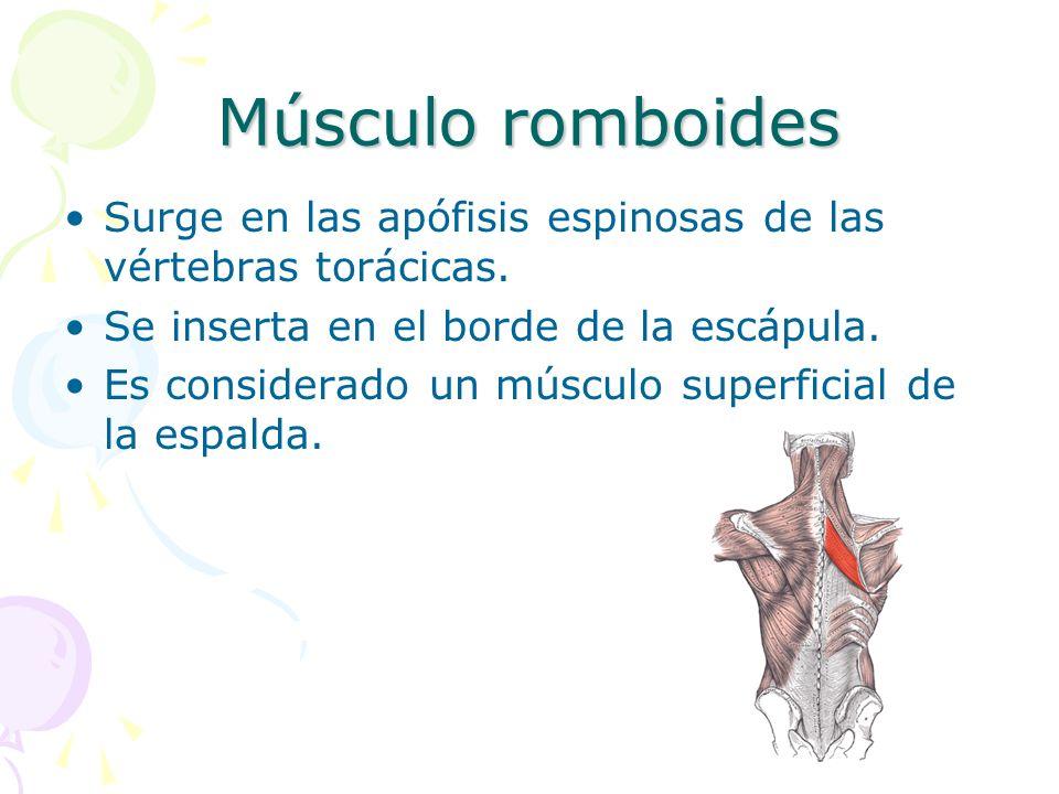 Músculo romboides Surge en las apófisis espinosas de las vértebras torácicas. Se inserta en el borde de la escápula. Es considerado un músculo superfi