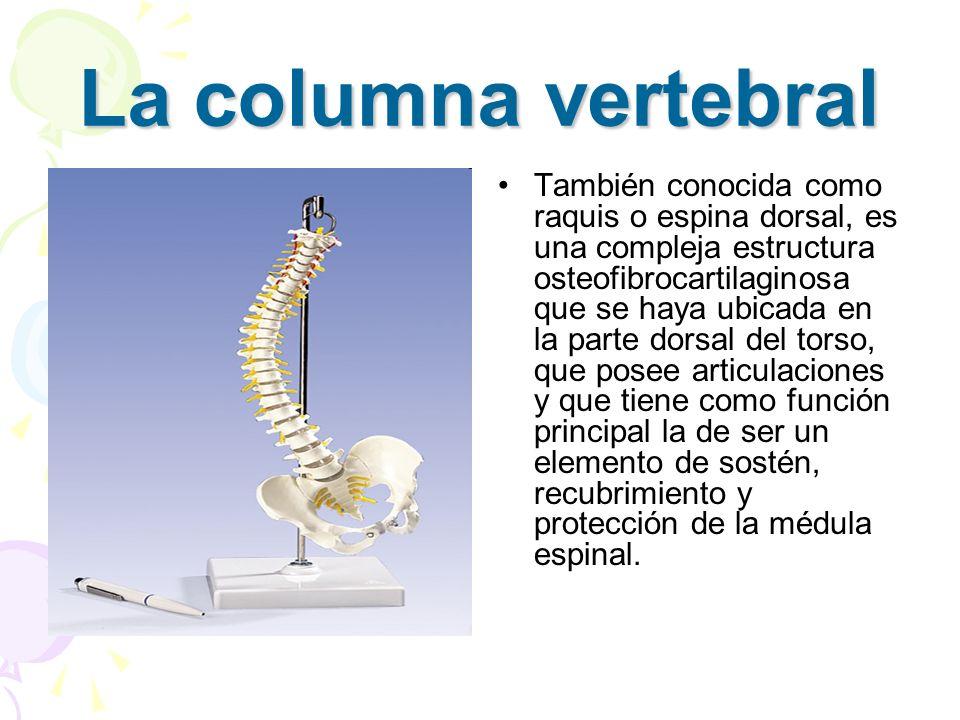 Está conformada por 33 vértebras, las cuales están dispuestas de manera tal, que la columna posee flexibilidad, estabilidad y amortiguación de impactos durante la moción normal del organismo.