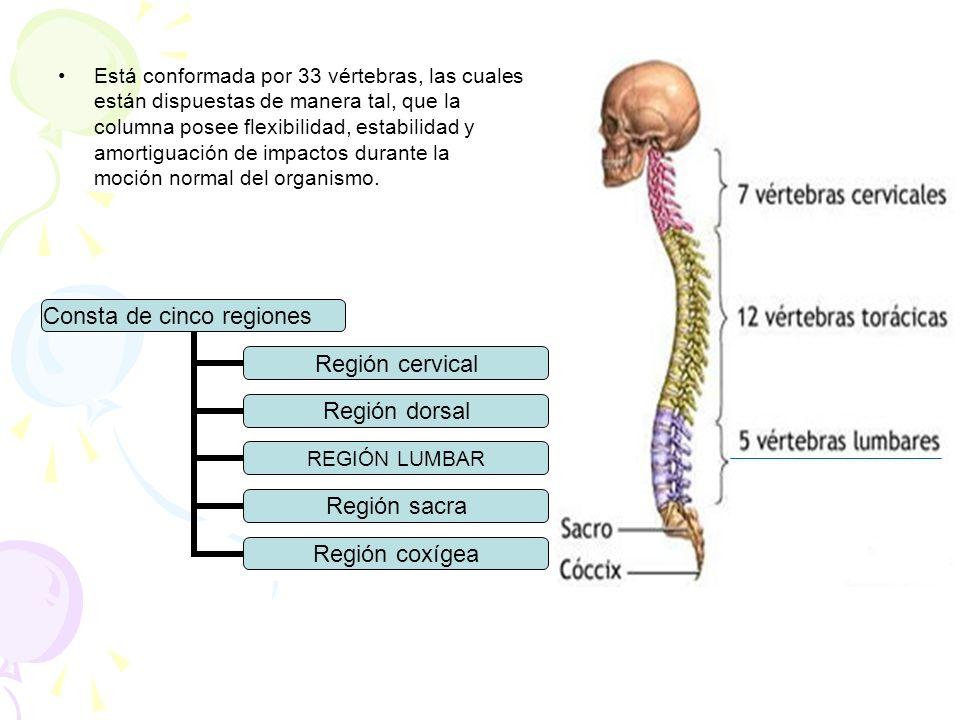 Está conformada por 33 vértebras, las cuales están dispuestas de manera tal, que la columna posee flexibilidad, estabilidad y amortiguación de impacto