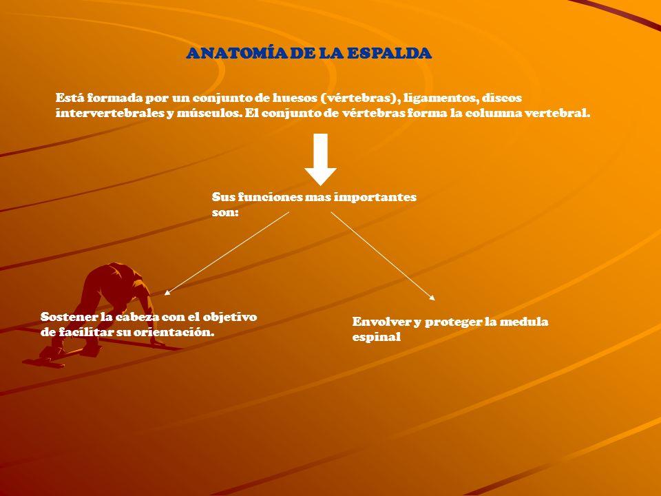 ANATOMÍA DE LA ESPALDA Está formada por un conjunto de huesos (vértebras), ligamentos, discos intervertebrales y músculos. El conjunto de vértebras fo