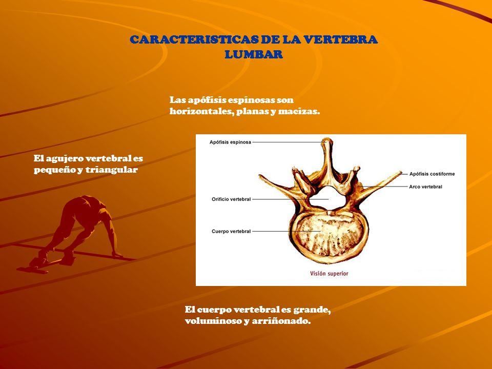 CARACTERISTICAS DE LA VERTEBRA LUMBAR El cuerpo vertebral es grande, voluminoso y arriñonado. El agujero vertebral es pequeño y triangular Las apófisi