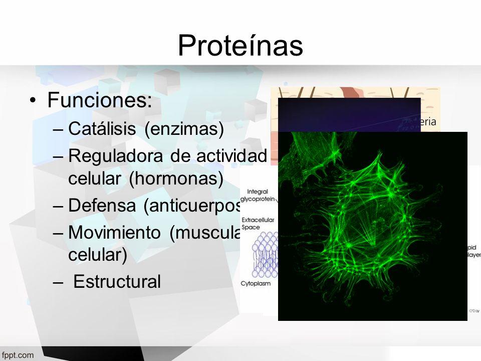 Proteínas Funciones: –Catálisis (enzimas) –Reguladora de actividad celular (hormonas) –Defensa (anticuerpos) –Movimiento (muscular, celular) – Estruct
