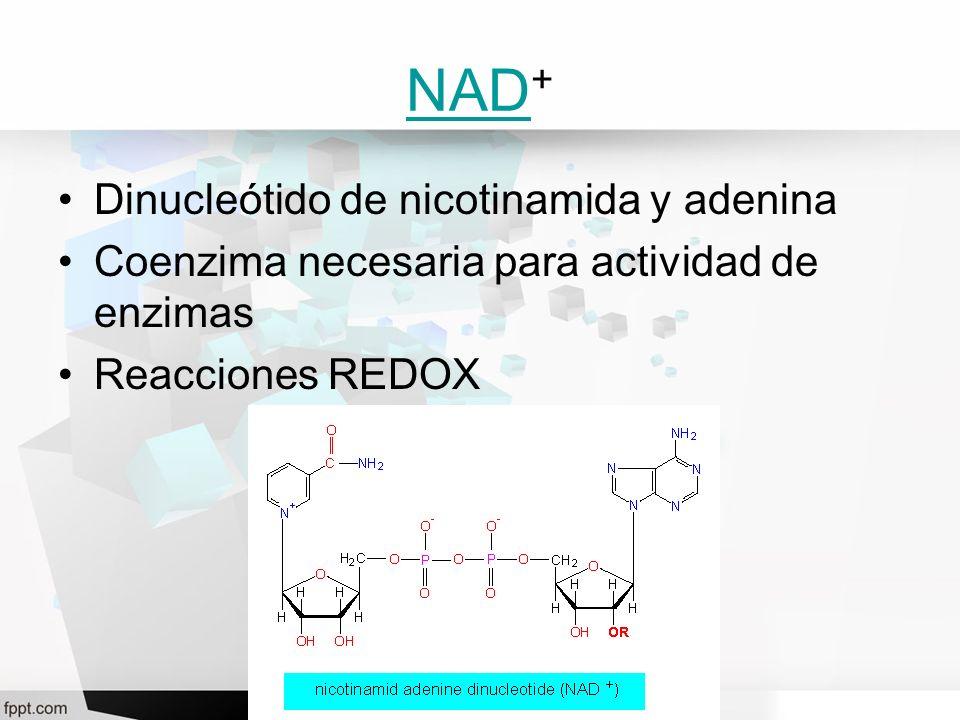 NAD NAD + Dinucleótido de nicotinamida y adenina Coenzima necesaria para actividad de enzimas Reacciones REDOX