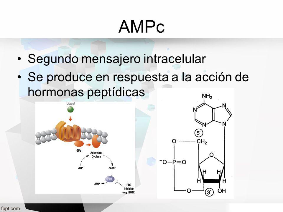 AMPc Segundo mensajero intracelular Se produce en respuesta a la acción de hormonas peptídicas