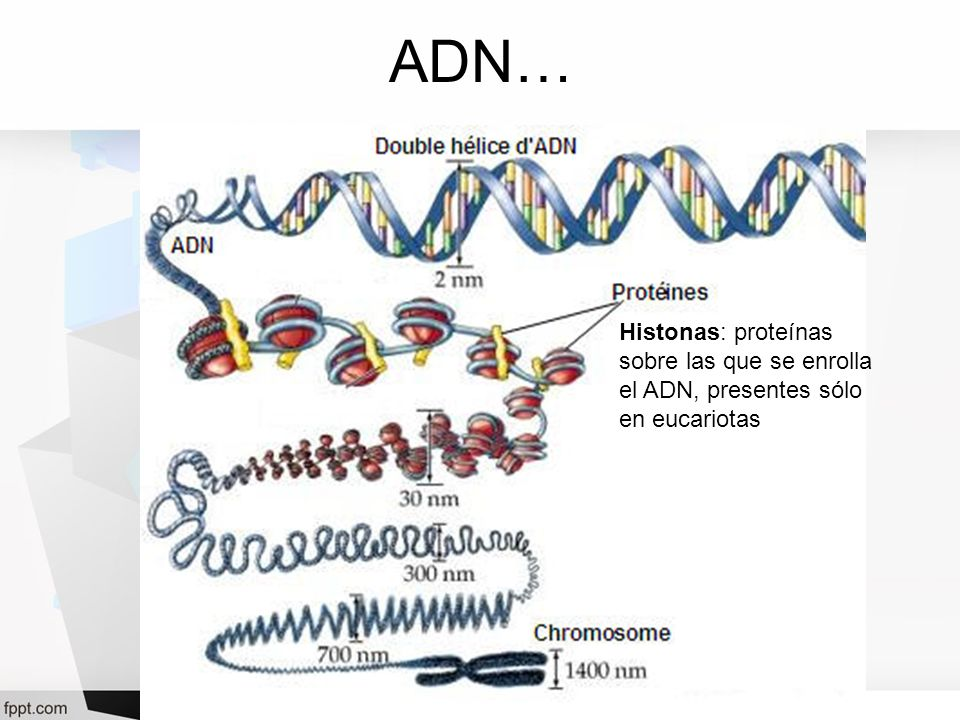 ADN… Histonas: proteínas sobre las que se enrolla el ADN, presentes sólo en eucariotas