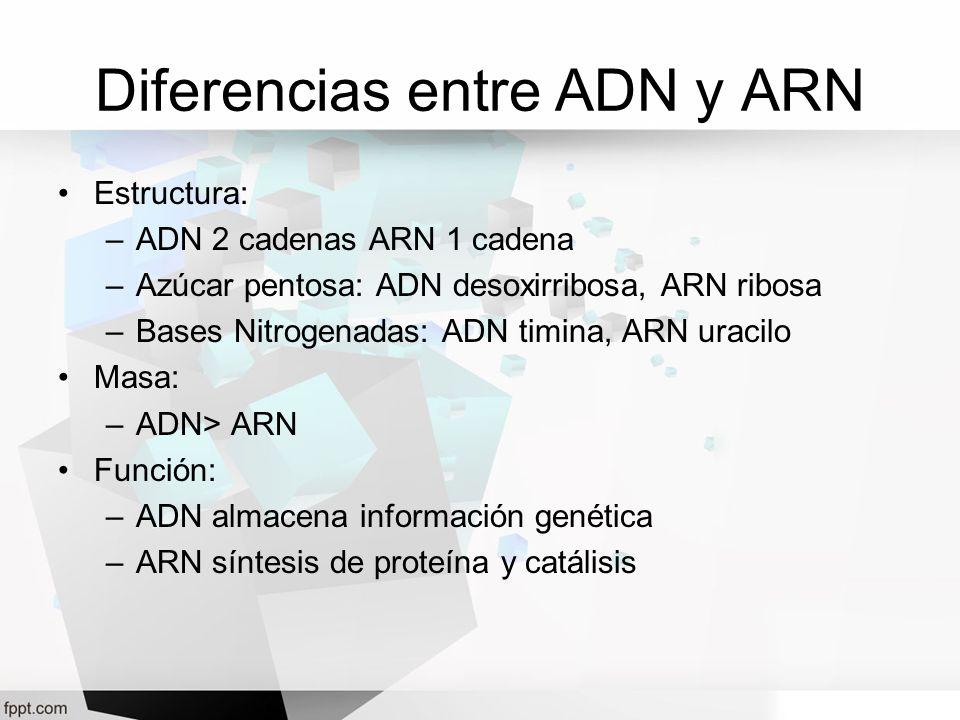 Diferencias entre ADN y ARN Estructura: –ADN 2 cadenas ARN 1 cadena –Azúcar pentosa: ADN desoxirribosa, ARN ribosa –Bases Nitrogenadas: ADN timina, AR
