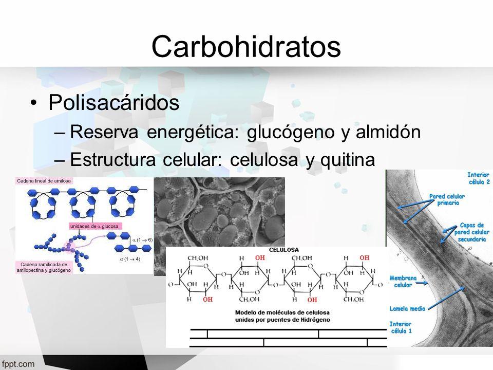 Carbohidratos Polisacáridos –Reserva energética: glucógeno y almidón –Estructura celular: celulosa y quitina