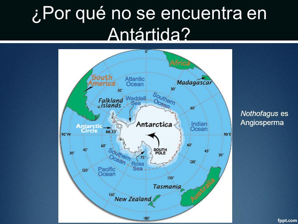¿Por qué no se encuentra en Antártida? Nothofagus es Angiosperma