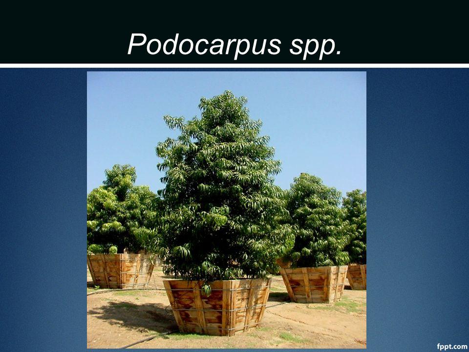 Podocarpus spp.