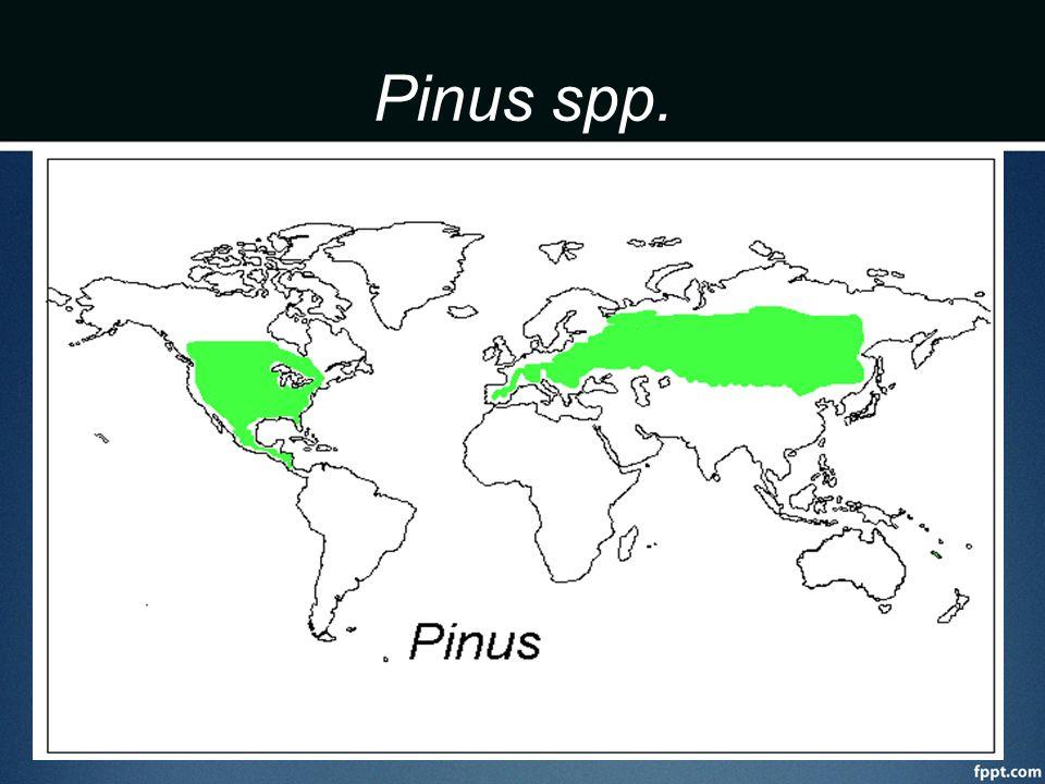 Pinus spp.