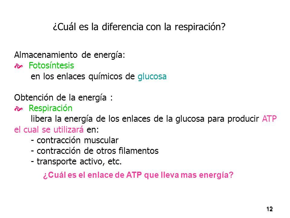 12 Almacenamiento de energía: Fotosíntesis en los enlaces químicos de glucosa Obtención de la energía : Respiración libera la energía de los enlaces d