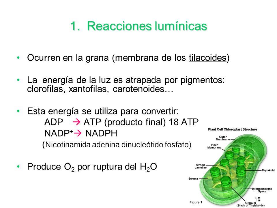 15 1. Reacciones lumínicas Ocurren en la grana (membrana de los tilacoides) La energía de la luz es atrapada por pigmentos: clorofilas, xantofilas, ca