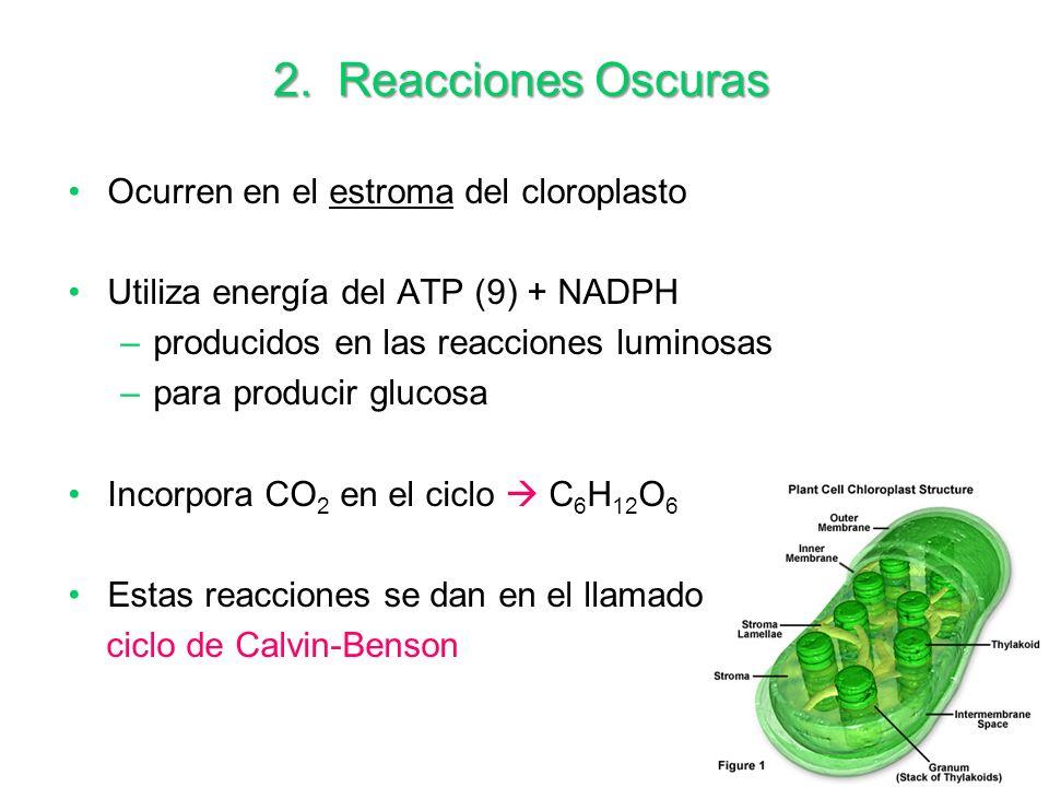 16 2. Reacciones Oscuras Ocurren en el estroma del cloroplasto Utiliza energía del ATP (9) + NADPH –producidos en las reacciones luminosas –para produ