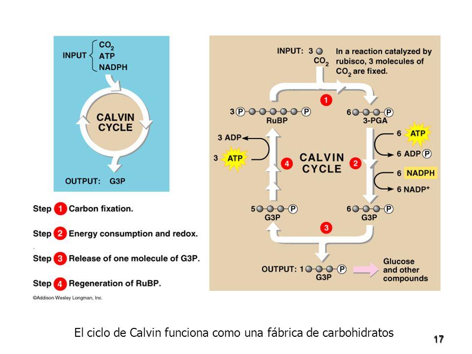 17 El ciclo de Calvin funciona como una fábrica de carbohidratos