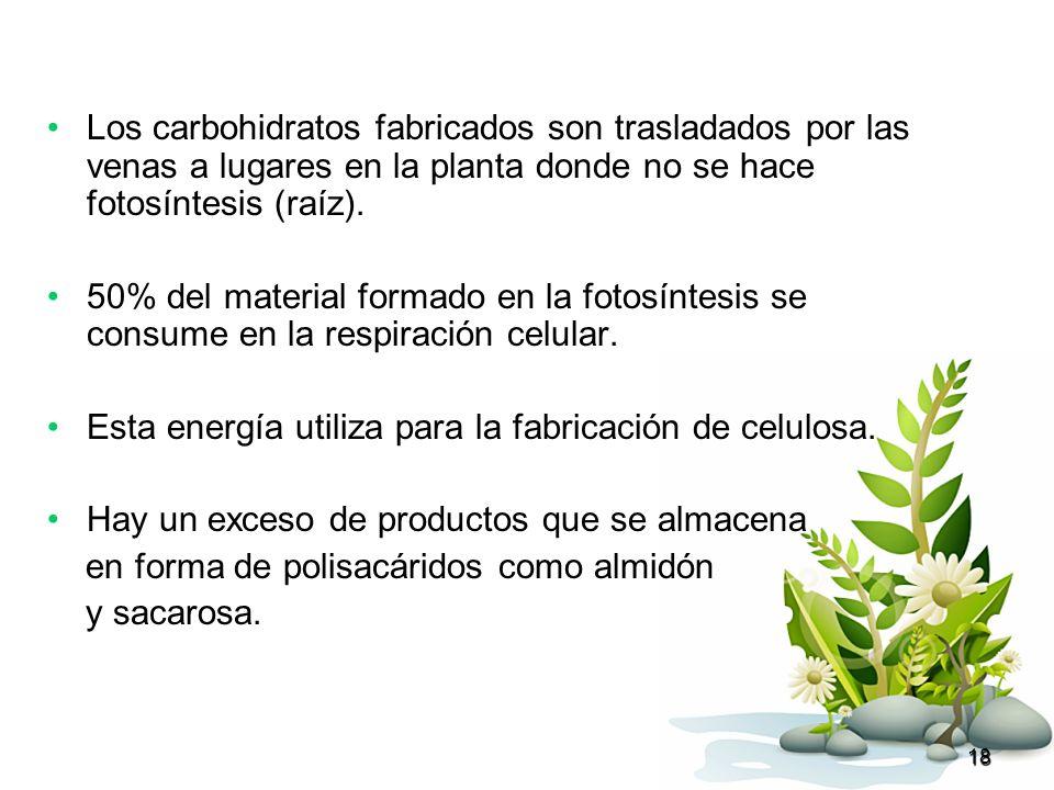 18 Los carbohidratos fabricados son trasladados por las venas a lugares en la planta donde no se hace fotosíntesis (raíz). 50% del material formado en