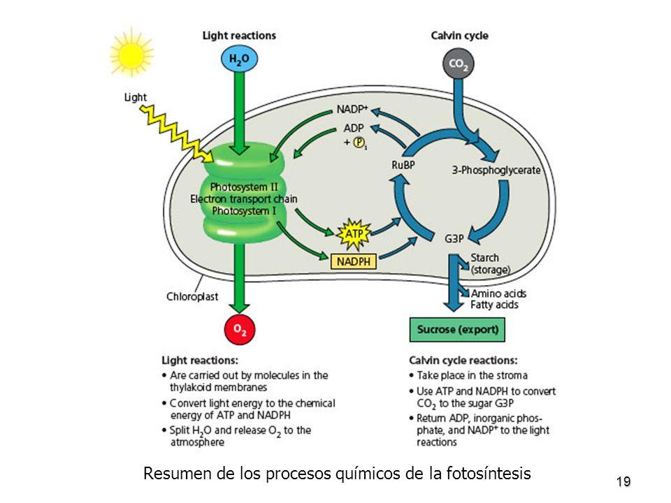 19 Resumen de los procesos químicos de la fotosíntesis