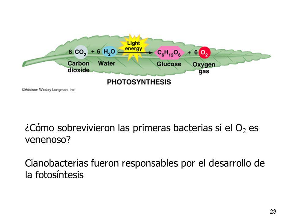 23 ¿Cómo sobrevivieron las primeras bacterias si el O 2 es venenoso? Cianobacterias fueron responsables por el desarrollo de la fotosíntesis