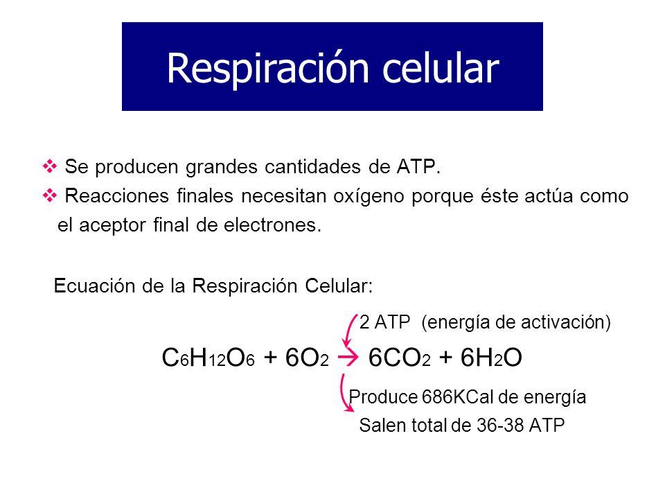 Se producen grandes cantidades de ATP. Reacciones finales necesitan oxígeno porque éste actúa como el aceptor final de electrones. Ecuación de la Resp