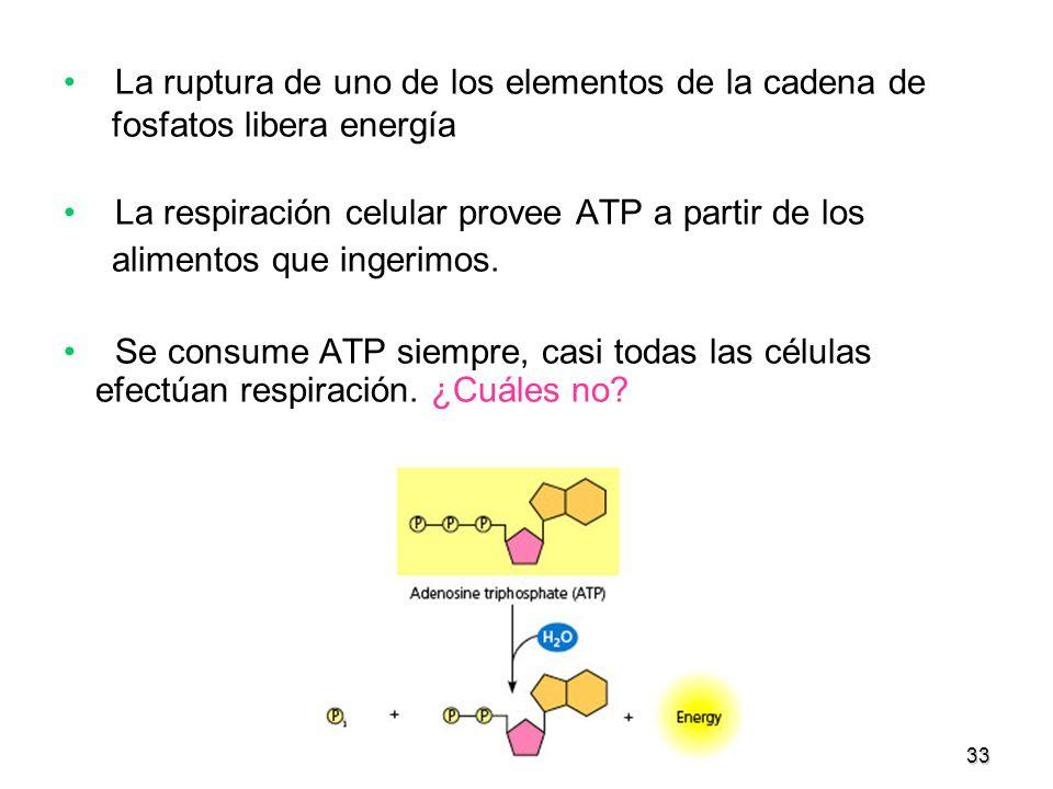 33 La ruptura de uno de los elementos de la cadena de fosfatos libera energía La respiración celular provee ATP a partir de los alimentos que ingerimo