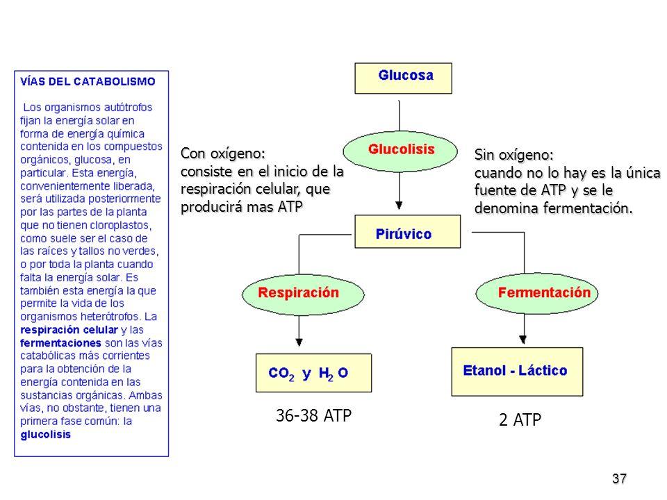 37 Sin oxígeno: cuando no lo hay es la única fuente de ATP y se le denomina fermentación. Con oxígeno: consiste en el inicio de la respiración celular