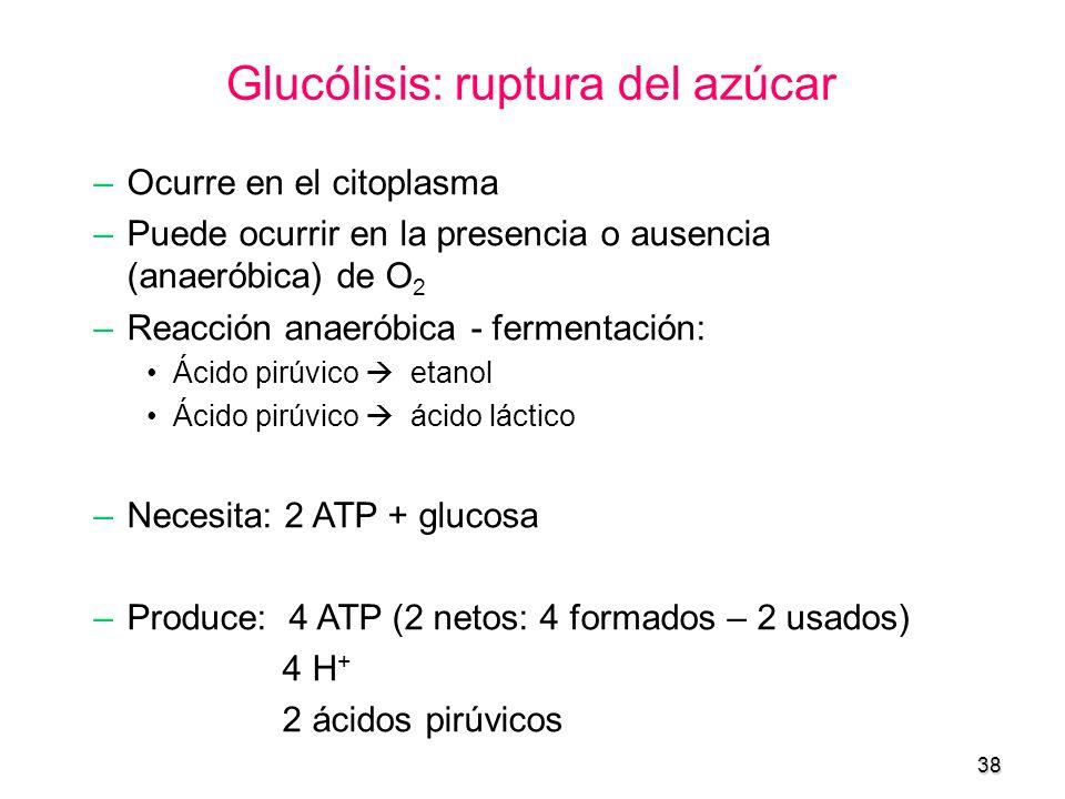 38 Glucólisis: ruptura del azúcar –Ocurre en el citoplasma –Puede ocurrir en la presencia o ausencia (anaeróbica) de O 2 –Reacción anaeróbica - fermen