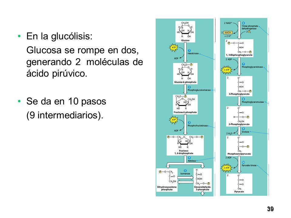 39 En la glucólisis: Glucosa se rompe en dos, generando 2 moléculas de ácido pirúvico. Se da en 10 pasos (9 intermediarios).