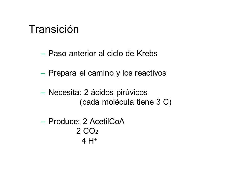 Transición –Paso anterior al ciclo de Krebs –Prepara el camino y los reactivos –Necesita: 2 ácidos pirúvicos (cada molécula tiene 3 C) –Produce: 2 Ace