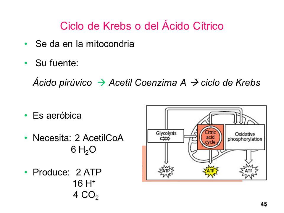 45 Ciclo de Krebs o del Ácido Cítrico Se da en la mitocondria Su fuente: Ácido pirúvico Acetil Coenzima A ciclo de Krebs Es aeróbica Necesita: 2 Aceti