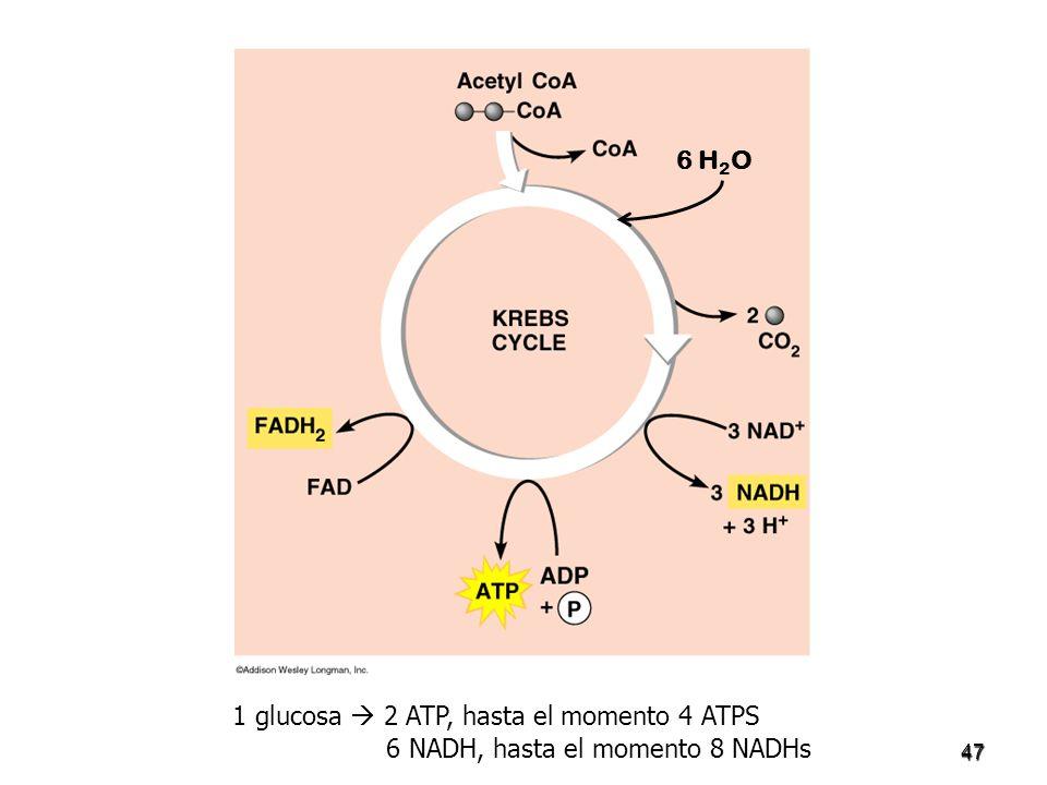 47 1 glucosa 2 ATP, hasta el momento 4 ATPS 6 NADH, hasta el momento 8 NADHs 6 H 2 O