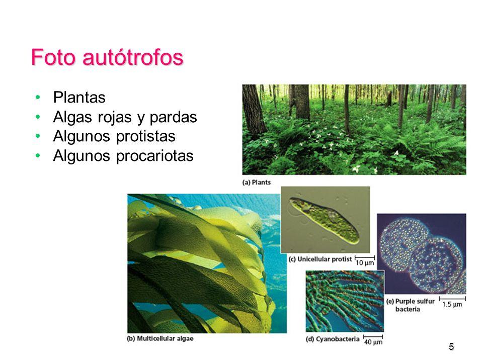 Foto autótrofos Plantas Algas rojas y pardas Algunos protistas Algunos procariotas 5